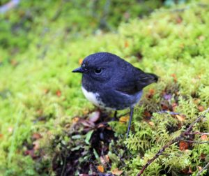 A South Island robin.