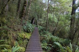 A short boardwalk section of the Kepler Track passing through a fern forest.