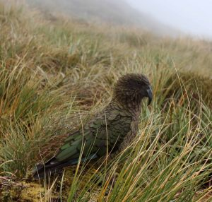 A kea on Mackinnon Pass.