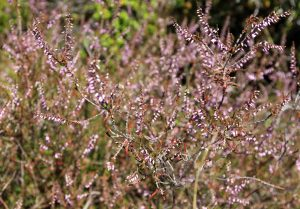 A bush with small pink flowers.