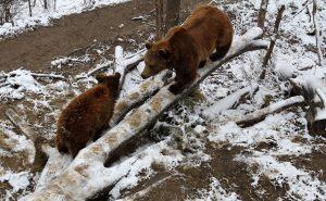 "Two Eurasian brown bears in the BärenPark (""Bear Park"")."