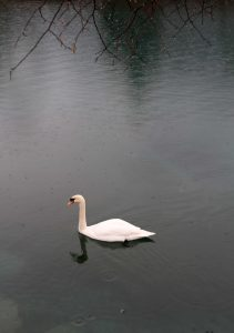 Swan in the Aare River.