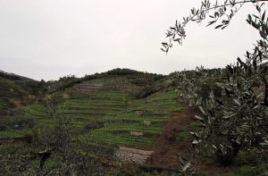 Terraced vineyards on the mountainside above Monterosso al Mare.