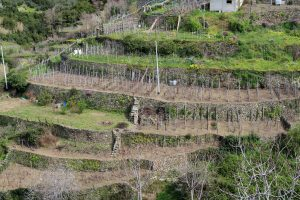 Terraced vineyards near Corniglia.