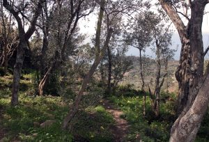 Idyllic path through olive trees.
