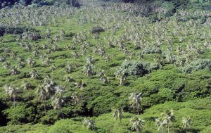 Coconut palms sticking out above the rest of the vegetation on Pentecost Island.