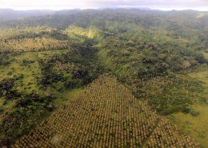 Triangle-shaped coconut palm plantation on Epi Island.
