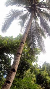 Coconut palm tree with notches carved in the trunk to facilitate climbers in their quest for coconuts.