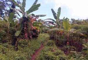 Trail through banana trees.