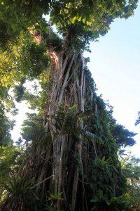 Large banyan tree at the cultural village.