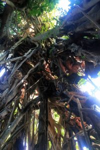 Looking up inside the large banyan tree; many roots are cleared from the center of the tree to accommodate the shelter space inside.