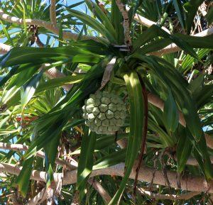 "Fruit on a pandan (or ""screw pine"") tree."